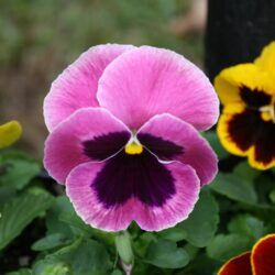 Matrix pansies flower early and are tough, annual cool season color for Mississippi gardens. These Matrix pansies display the traditional dark blotch. (Photo by MSU Extension/Gary Bachman)
